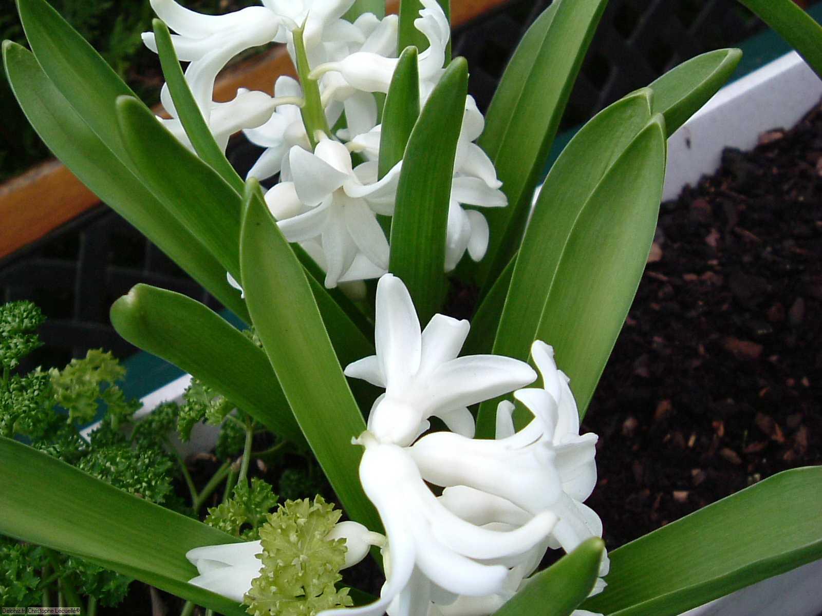 Fleurs blanches le site des programmes for Site de fleurs