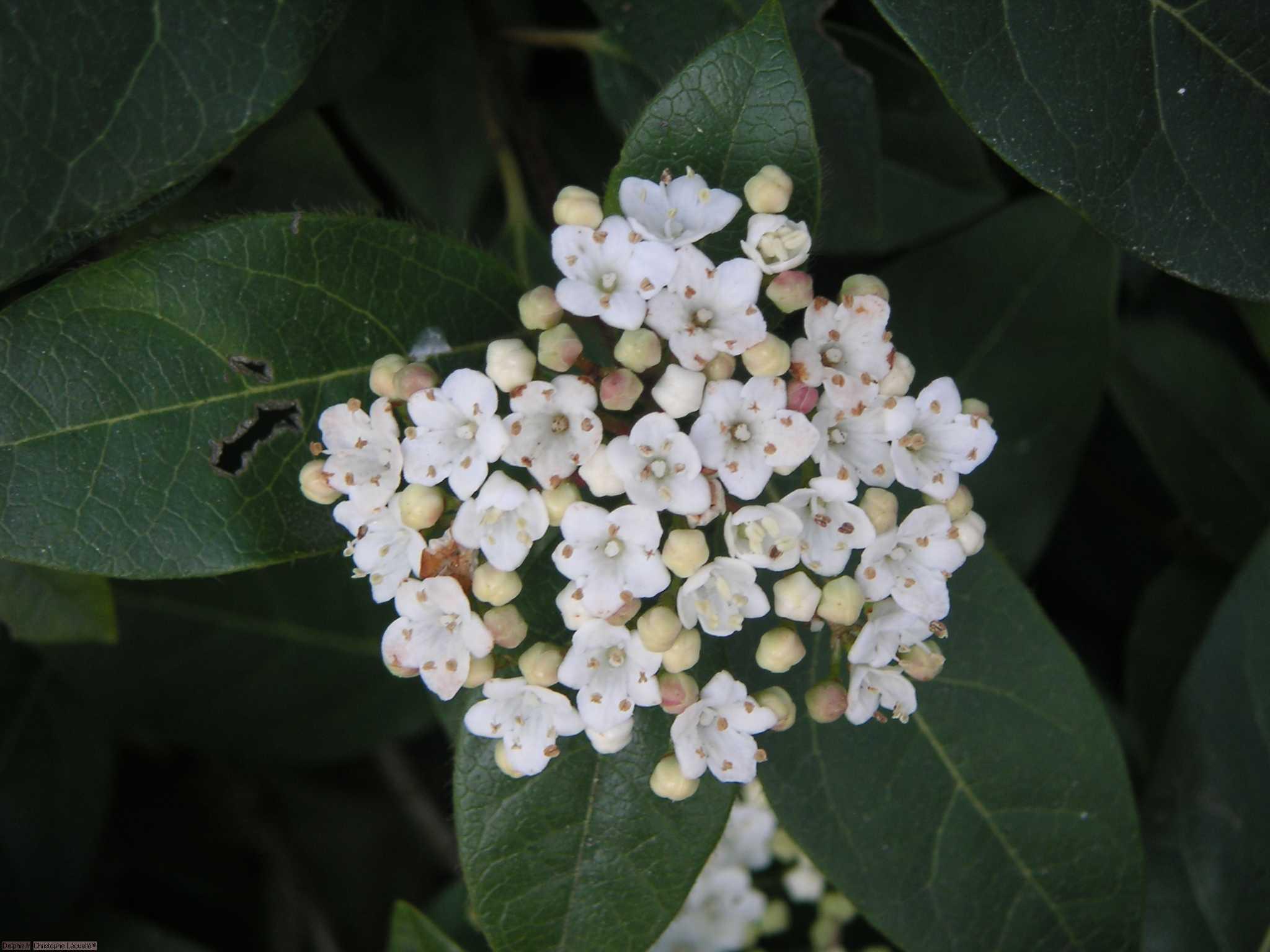 Fleurs blanches le site des programmes for Les noms des fleurs
