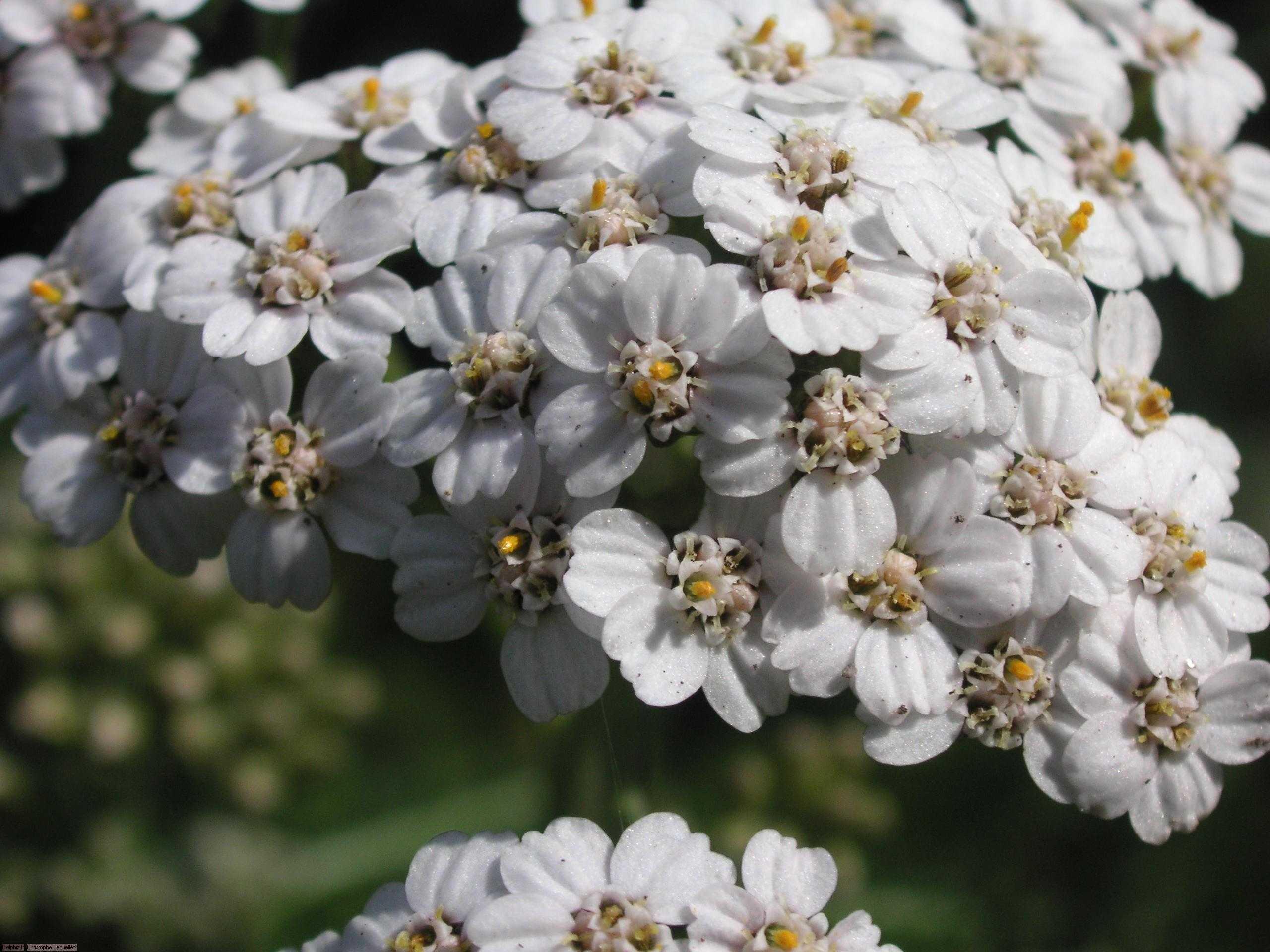 Liste Des Fleurs Blanches Fleur Des Champs Jaune Vap Vap