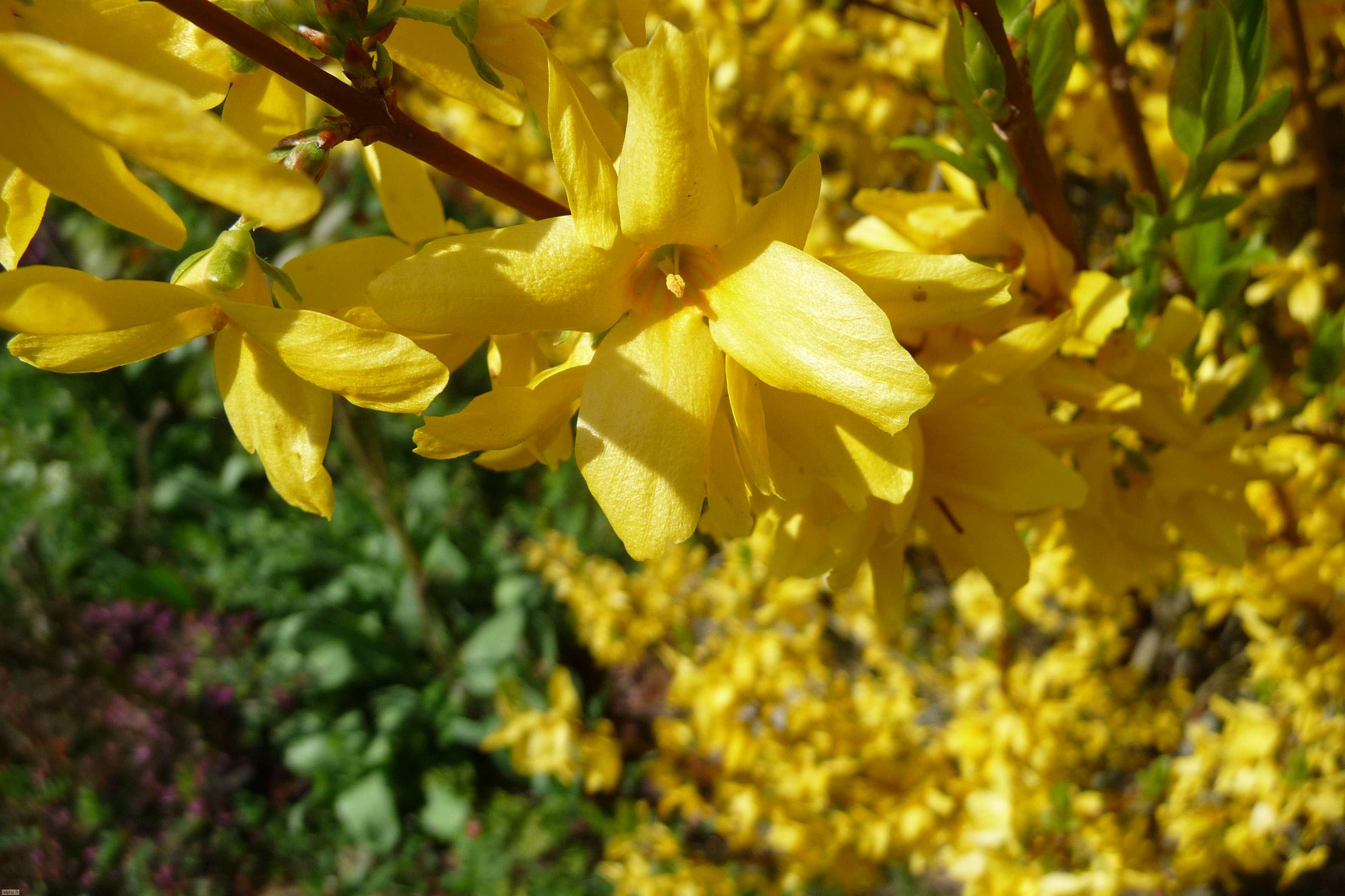 Nom : fleurs jaunes de près
